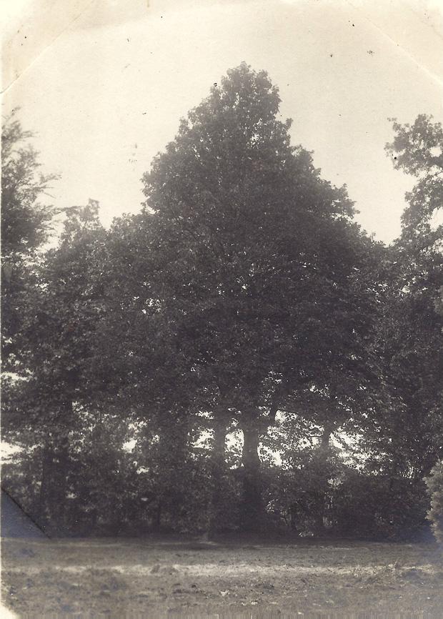Een Stammagnolia